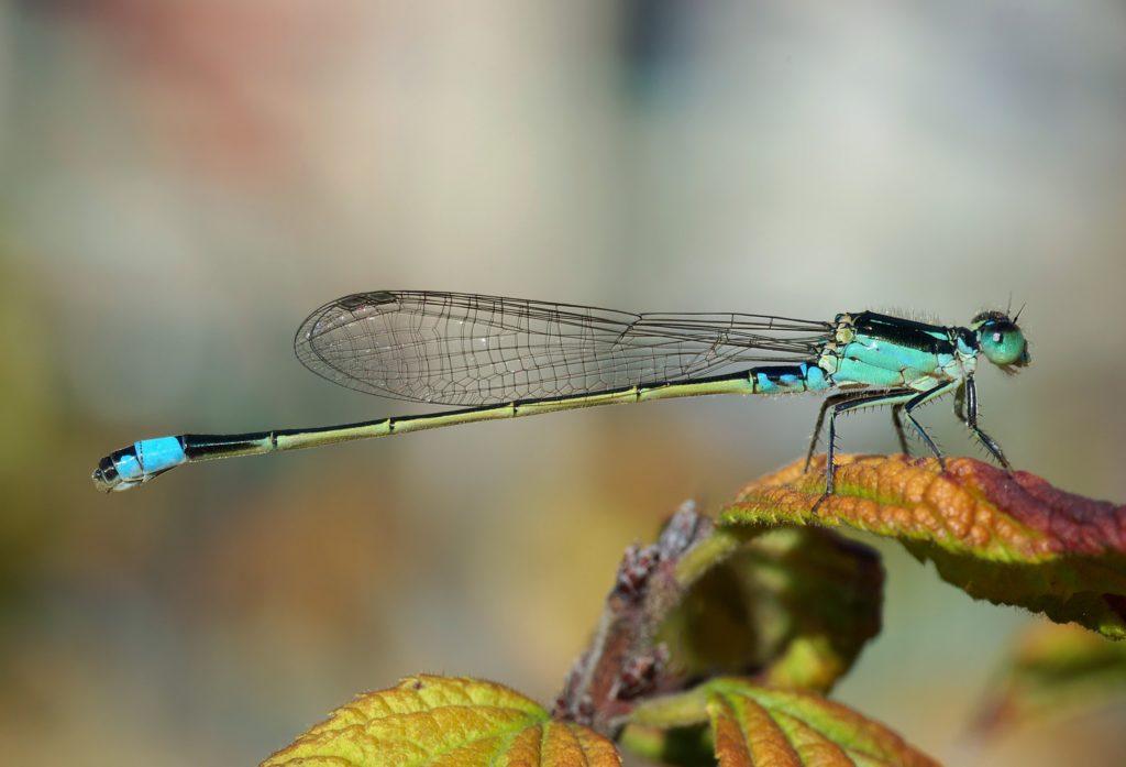 dragonfly-62963